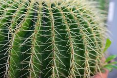 Side view of echinocactus grusonii cactus macro stock photo