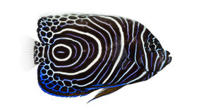 Side view of an Emperor Angelfish Stock Images