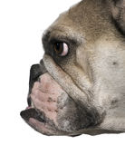 Side view of English bulldog, close-up Royalty Free Stock Image