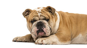Side view English bulldog lying down isolated on white Stock Image