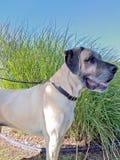 Side view of English Mastiff dog Stock Photos