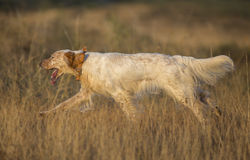 Side view of english setter Stock Photography