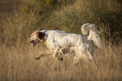 Side view of english setter Royalty Free Stock Photography