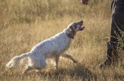 Side view of english setter and man Royalty Free Stock Photo