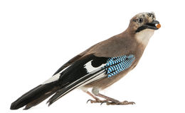 Side view of an Eurasian Jay with food in the beak Royalty Free Stock Photos