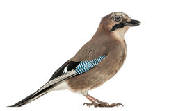 Side view of a Eurasian Jay, Garrulus glandarius, isolated Stock Photo