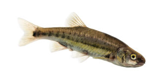 Side view of an Eurasian minnow, Phoxinus phoxinus Royalty Free Stock Photography