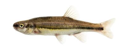 Side view of an Eurasian minnow, Phoxinus phoxinus Royalty Free Stock Images