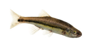 Side view of an Eurasian minnow, Phoxinus phoxinus Stock Photography