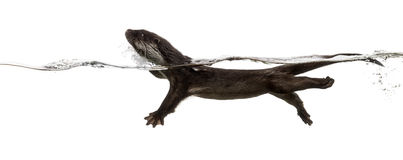 Side view of an European otter swimming at the surface of the wa Stock Image