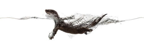 Side view of an European otter swimming at the surface of the wa Royalty Free Stock Photo