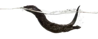 Side view of an European otter swimming at the surface of the wa stock images