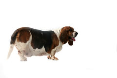 Side view of fat basset hound dog Royalty Free Stock Images