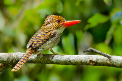 Side view of Female Banded Kingfisher Royalty Free Stock Images