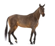 Side view of a Female Belgian Warmblood, BWP, 4 years old, with mane braided with buttons Royalty Free Stock Image