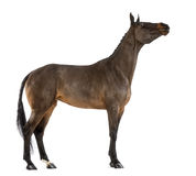 Side view of a Female Belgian Warmblood stretching its neck, BWP, 4 years old, with mane braided with buttons. Against white background Stock Images