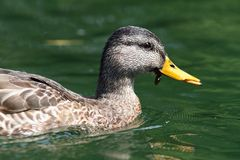 Side view of female mallard duck. Swimming on water Royalty Free Stock Images