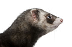Side view of ferret, 3 years old Stock Images