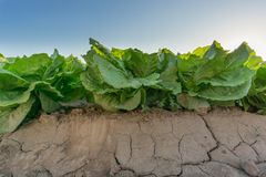 Side view of the first row in lettuce plantation Royalty Free Stock Photos