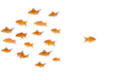 Side view of fish swimming. Against white background Royalty Free Stock Photo