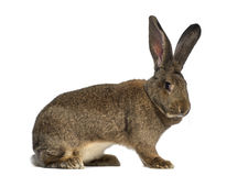 Side view of a Flemish Giant rabbit. Isolated on white Stock Images
