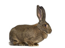 Side view of a Flemish Giant rabbit. Isolated on white Royalty Free Stock Photo