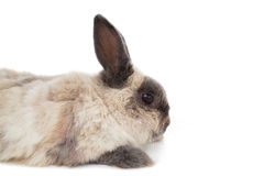 Side view of fluffy rabbit Royalty Free Stock Photography