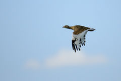 Side view of flying female Little Bustard Royalty Free Stock Images
