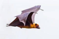 Side view of flying male Lyle's flying fox Royalty Free Stock Images