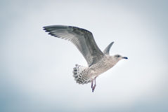Side view of flying seagull. Seagull flying in the cloudy sky Royalty Free Stock Photography