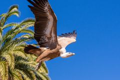 Side view of Flying vulture during prey bird show, Gran Canaria Palmitos park, Spain