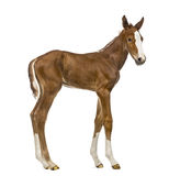 Side view of a foal stock photography