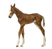 Side view of a foal walking Stock Photography