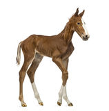Side view of a foal walking Stock Images