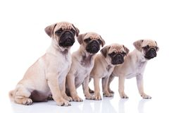 Side view of four cute pugs looking to side. On white background, two of them sitting and the others standing Stock Images