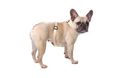 Side view , french bulldog (frenchie) Stock Photos