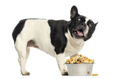 Side view of a French Bulldog with full bowl, looking up Stock Photography