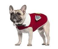 Side view of French Bulldog in red outfit Royalty Free Stock Photos