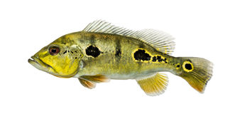 Side view of a fresh water aquarium fish Royalty Free Stock Photo