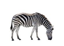 Side view full body of african zebra isolated white background royalty free stock images