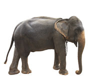 Side view full body of thai elephant standing show beautiful ski Royalty Free Stock Photo