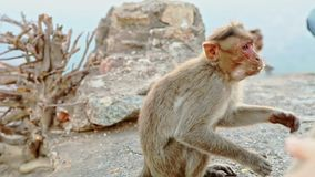 Side View Funny Little Monkey Eats Food and Runs Away. Side view funny little monkey eats hungrily food and runs away fast against large stones at temple stock video footage