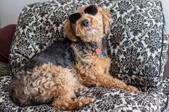 Side view of a funny Welsh Terrier lying on a sofa wearing sun glasses royalty free stock photo