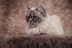 Side view of a  furry cat lying on brown fur Stock Photography