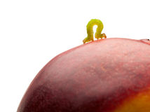 Side view of geometrid climbing on peach Royalty Free Stock Image