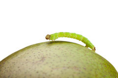 Side view of geometrid climbing on pear Royalty Free Stock Photo