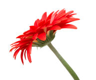 Side-view of gerbera Stock Image