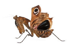 Side view of Giant Dead Leaf Mantis Stock Photo