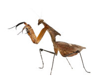 Side view of Giant Dead Leaf Mantis, standing Royalty Free Stock Image