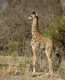 Side view of giraffe calf standing in grassland Stock Photography